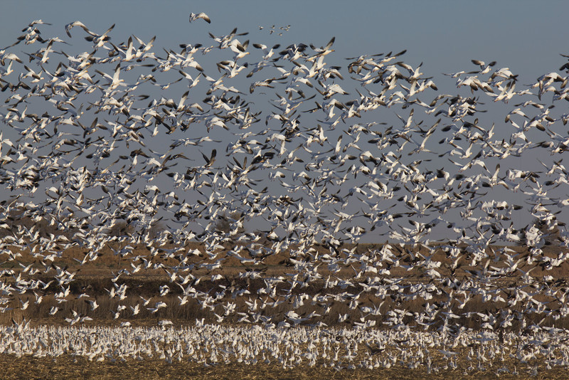 Hundreds, if not thousands, of Snow Geese and a few Canada Geese have flushed in response to an overhead small plane approaching at Sacramento National Wildlife Refuge. Jan 13, 2012.