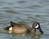 Blue-winged Teal at Port Aransas, Texas. April