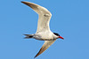 Caspian Tern over Henry's Lake, Idaho