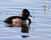 Ring-necked Duck at Sacramento National Wildlife Refuge pond. Jan 13, 2012