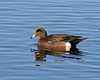 American Widgeon on pond at Sacramento National Wildlife Refuge. Jan 12, 2012.
