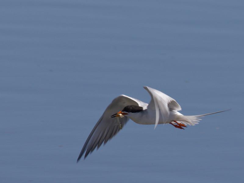 Common Tern (Sterna hirundo) over Lower Red Rock Lake. Montana. July 2010