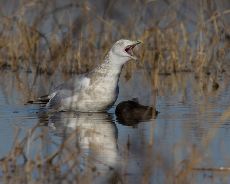 Herring Gull at Sacramento National Wildlife Refuge, Jan 13, 2012. It is calling over a dead bird that it eventually drags out of the water.