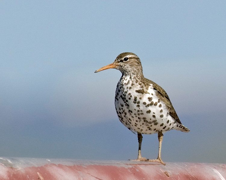 Spotted Sandpiper in Red Rock Lakes National Wildlife Refuge, Montana. June 2007