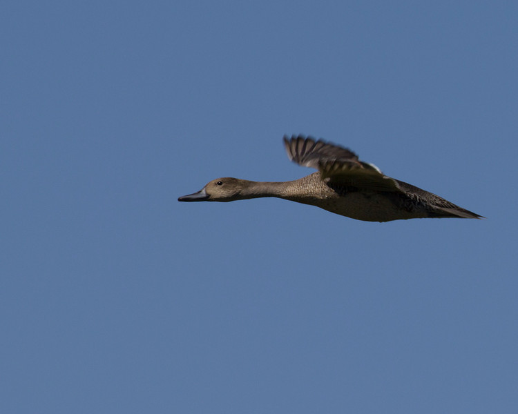 Flying Widgeon Duck. Red Rock Lakes National Wildlife Refuge. August 18, 2010