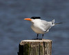 Royal Tern resting near Pamlico River in Washington, North Carolina. April 23, 2009