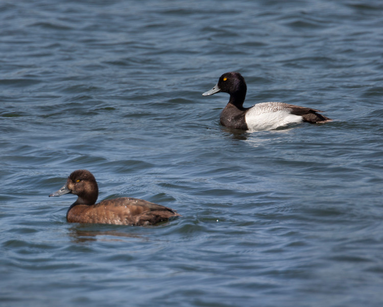 Lesser Scaup female and male on Henry's Lake, Idaho, June 4, 2012.