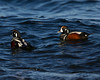 Harlequin Duck, male