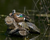 Blue-winged Teal Duck in Port Aransas Texas Bird Sanctuary resting on a turtle. Apr 2007