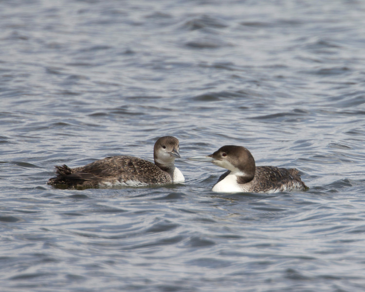 Juvenile Common Loons in Island Park Reservoir, Idaho. May 2011
