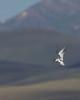 Forster's Tern (Sterna forsteri) hovering over Lower Red Rock Lake, Red Rock Lakes National Wildlife Refuge. July 29, 2010.