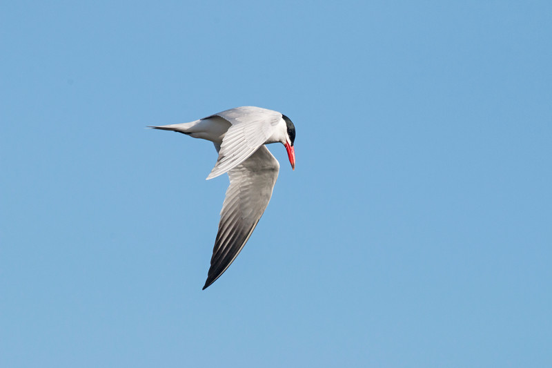 Common Tern over Henry's Lake