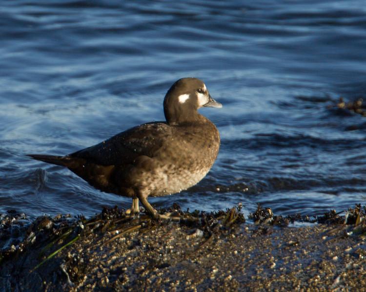 Harlequin Duck, female