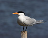 Royal Tern along Pamlico River in eastern North Carolina. April 23, 2009 Perching.