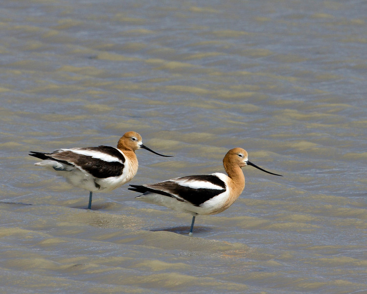 American Avocet (Recurvirostra americana) in shallow pond adjacent to Lower Red Rock Lake in Red Rock Lakes National Wildlife Refuge, Montana. June 14, 2010.