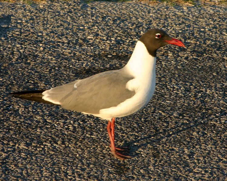 Laughing Gull, Rockport, Texas, April 2007