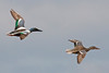 Northern Shovelers Flying