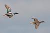 Northern Shovelers Flying