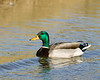 Male Mallard duck in canal at Wilderness Lakes RV Park, Menifee, CA. Jan 2008