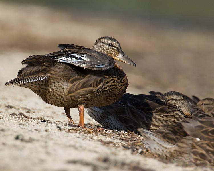 Mallard duck chick, Henry's Lake, Idaho August 2013