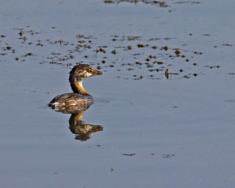 Pied billed Grebe in Henrys Lake. August 19, 2013