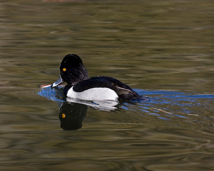 Ring necked duck in Lytle Creek Resort pond. Feb 8 2010