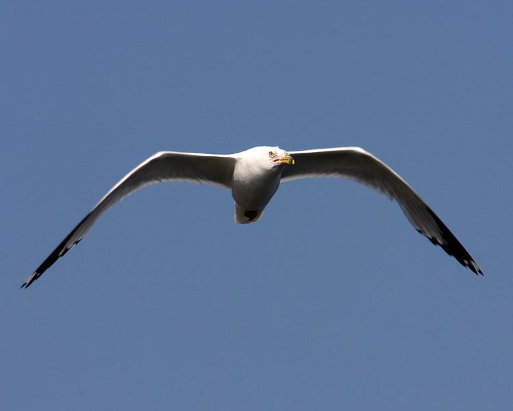 Flying Gull, Island Park, Idaho. July 17, 2008.