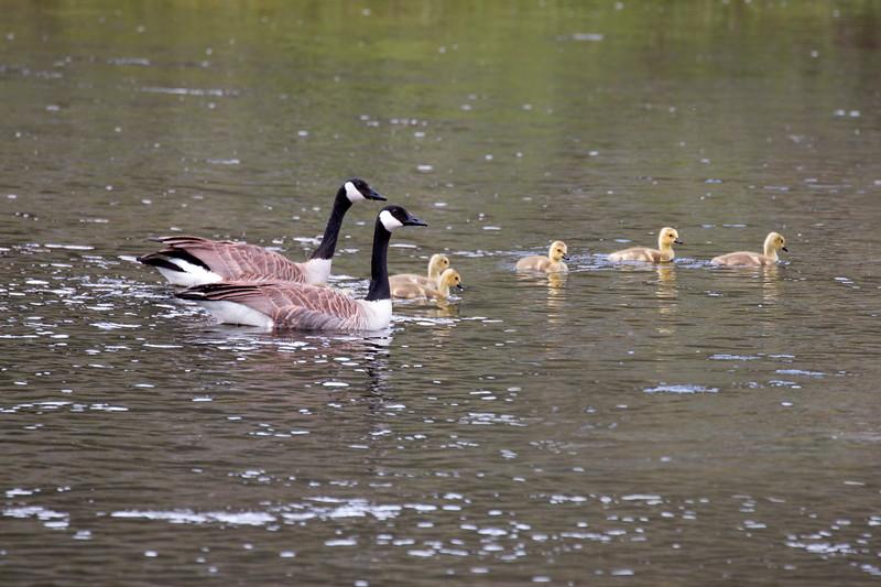 Canada Geese and Goslings, Henry's Lake, Idaho