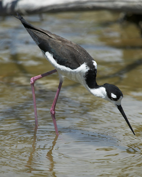 Black-necked Stilt at Port Aransas, Texas marsh (next to the Sewage Treatment Plant). April 2007