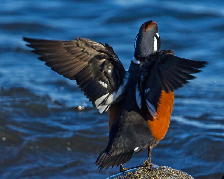 Harlenquin Duck
