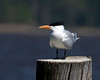 Royal Tern along Pamlico River in eastern North Carolina. April 23, 2009 Sitting.