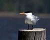 Royal Tern along Pamlico River in eastern North Carolina. April 23, 2009 Sitting.