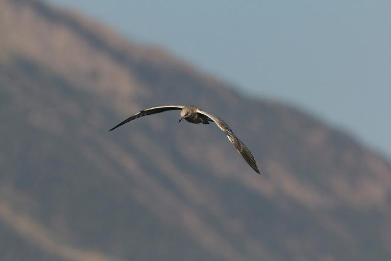 California Gull, Henry's Lake, Idaho Aug 4, 2013