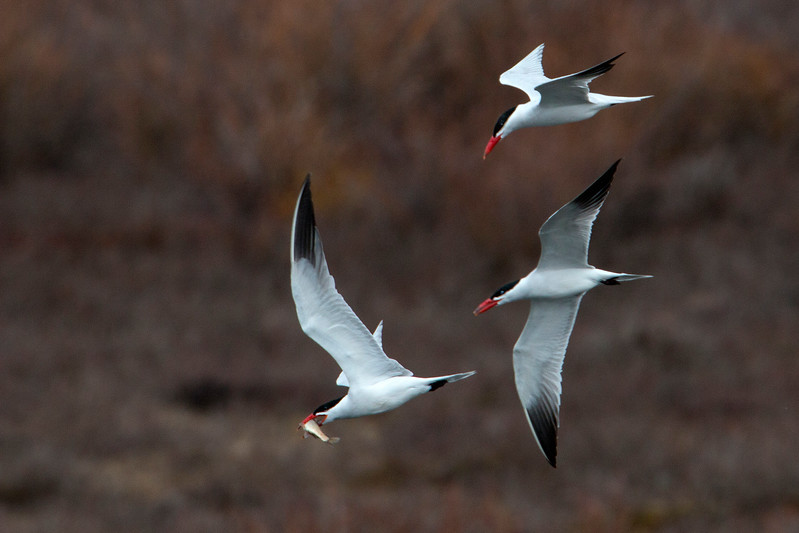 Caspian Terns chasing one with fish