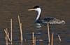 Western Grebe, Freshwater Lagoon, California