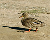 Female Mallard taking a stroll along the canal at Wilderness Lakes RV park, near Menifee, CA. Jan 2007
