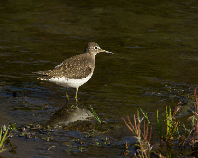 Willet on Elk Spring Creek