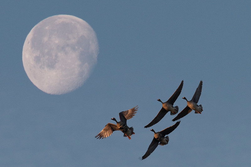 White-front Geese with moon