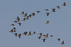 Canada Geese flying over ocean near Long Beach, WA. Oct 14, 2012