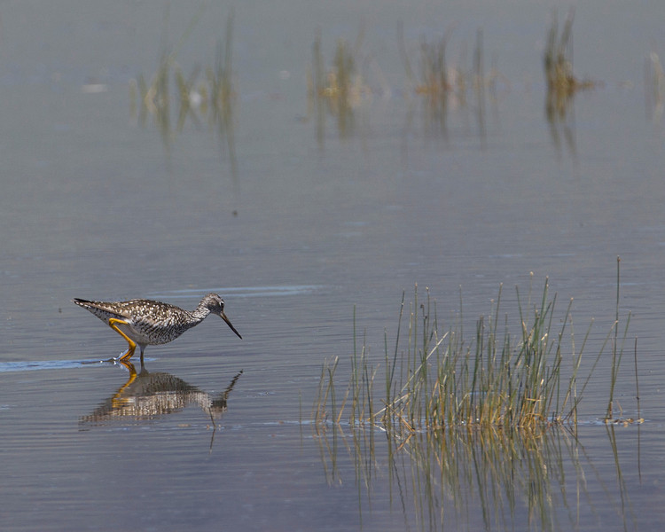 Lesser Yellowlegs (Tringa flavipes) foraging for food in Lower Red Rock Lakes. Red Rock Lakes National Wildlife Refuge, Centennial Valley, Montana. July 2010.
