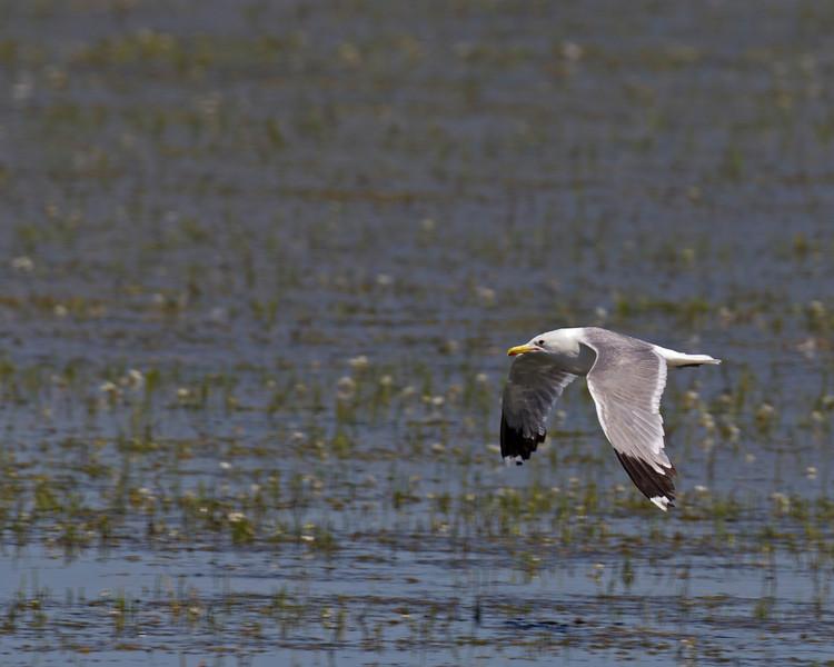 California Gull (Larus californicus) flying over Lower Red Rock Lake. Montana July 29, 2010.