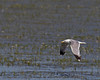California Gull (Larus californicus) flying over Lower Red Rock Lake. Montana July 29, 2010.