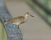 Willet (? Sandpiper like bird) at Port Aransas, Texas  bird area, Apr 2007.