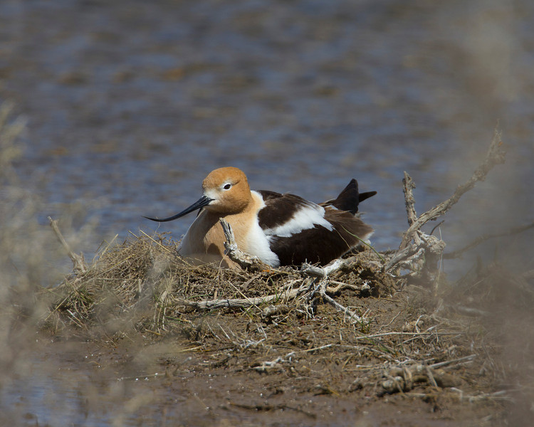 American Avocet at pond adjacent to Lower Red Rock Lake dam sitting on nest. June 1, 2011