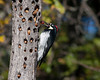 Female Acorn Woodpecker (Melanerpes formicivorus) at Cloverdale, California November 2012