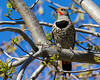 Northern Flicker woodpecker Silent Valley Club San Jacinto, CA