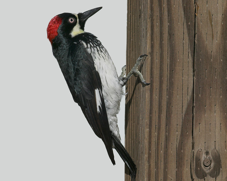 Acorn Woodpecker (Melanerpes formicivorus) female, Cloverdale, CA near Russian River, September 2006
