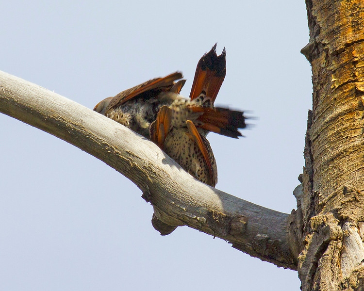 Flickers flicking in a tree.
