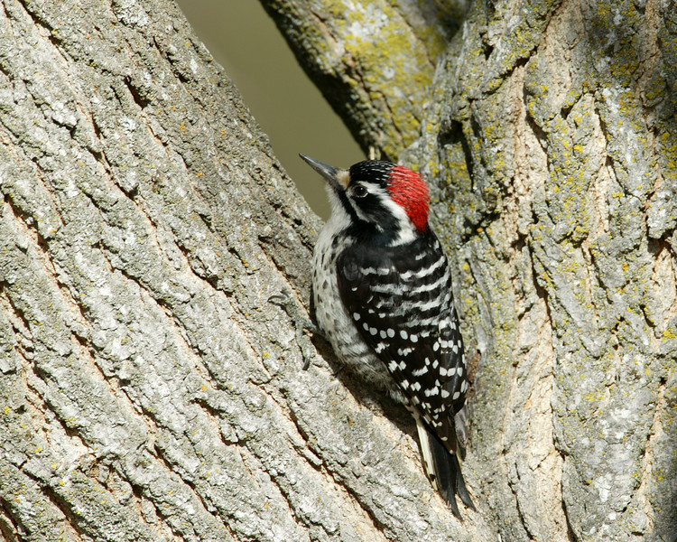 Ladderbacked Woodpecker in San Jacinto Mountains in late January, 2008.