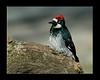 Acorn Woodpecker in Silent Valley RV Club in the San Jacinto Mountains in late January 2008.